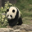 Giant panda bear (Ailuropoda Melanoleuca), China — Stock Photo