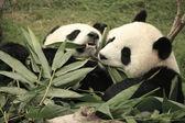 Giant panda bears eating bamboo (Ailuropoda Melanoleuca), China — Stock Photo