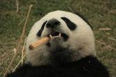 Porträtt av giant panda bear (ailuropoda melanoleuca) äter bambu, Kina — Stockfoto