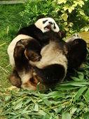 гигантская панда (ailuropoda меланолеука) переходящего вместе, китай несет — Стоковое фото