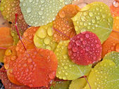 Colorful aspen leaves with raindrops — Stock Photo