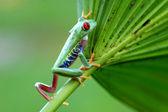 Red-eyed treefrog (Agalychnis callidryas) — Stock Photo