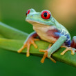 Red-eyed treefrog (Agalychnis callidryas) — Stock Photo #17511245