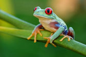 Red-eyed treefrog (Agalychnis callidryas) — Stock Photo
