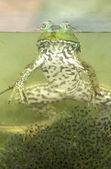Green frog (Rana clamitans) — Stock Photo