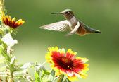 Broad-tailed hummingbird female (Selasphorus platycercus) — Stock Photo