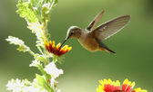 Broad-tailed hummingbird female (Selasphorus platycercus) — Stock Photo