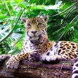 Stock Photo: Jaguar (Pantheronca)