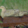 Ring-necked female pheasant (Phasianus colehicus) — Stock Photo