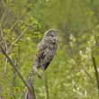 Great Gray Owl (Strix nebulosa) — Stock Photo #18028677