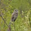 Great Gray Owl (Strix nebulosa) — Stock Photo