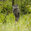Great Gray Owl (Strix nebulosa) — Stock Photo