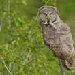 Great Gray Owl (Strix nebulosa) — Stock Photo #18029729