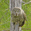 Great Gray Owl (Strix nebulosa) — Stock Photo #18029825