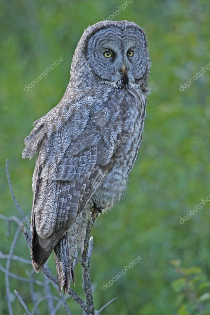 Great Gray Owl (Strix nebulosa) — Stock Photo #18030085