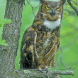 Great Horned Owl (Bubo virginianus) — Stock Photo #18050355