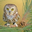 Northern Saw-whet Owl (Aegolius acadicus) — Stock Photo #18050507