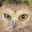 Portrait of Northern Saw-whet Owl (Aegolius acadicus) — Stock Photo