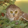 Northern Saw-whet Owl (Aegolius acadicus) — Stock Photo