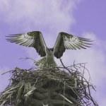 Osprey (Pandion haliaetus) — Stock Photo