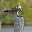 Osprey (Pandion haliaetus) — Stock Photo
