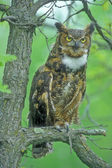 Great Horned Owl (Bubo virginianus) — Stock Photo