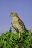 Red-shouldered Hawk (Buteo lineatus) — Stock Photo