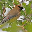 Cedar Waxwing (Bombycilla cedrorum) — Stock Photo