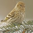 Stock Photo: Pine Siskin (Carduelis pinus)