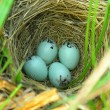 Nest of Yellow-headed Blackbird — Stock Photo