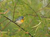 Northern Parula Warbler (Parula americana) — Stock Photo