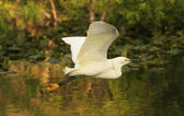 Летающие цапля (белые цапли Тула) — Стоковое фото
