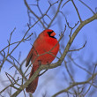 Stock Photo: Northern Cardinal (Cardinalis cardinalis)