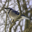 Blue Jay (Cyanocitta cristata) - Stock Photo