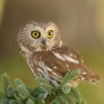 Northern Saw-whet Owl — Stock Photo