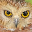 Northern Saw-whet Owl — Stock Photo #19279149