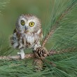 Northern Saw-whet Owl — Stock Photo #19279163