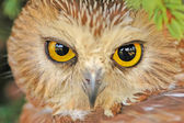 Northern Saw-whet Owl — Stock Photo
