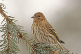 Pine Siskin (Carduelis pinus) — Photo