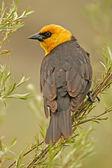 Yellow-headed Blackbird — Stock Photo