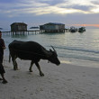 Silhouette of local man and water buffalo at sunrise, Koh Rong i — Stock Photo #23512263