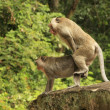 Long-tailed macaques mating — Stock Photo