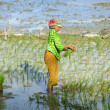 Woman planting rice, Cambodia, Southeast Asia — Stock Photo