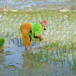 Stock Photo: Woman planting rice, Cambodia, Southeast Asia
