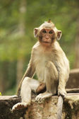 Long-tailed macaque — Foto de Stock