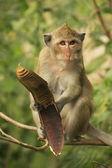 木の種を食べる長い尾のサル — ストック写真