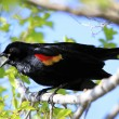 Red-winged Blackbird male - Foto de Stock