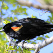 Red-winged Blackbird male - Stockfoto