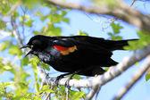 Red - winged blackbird man — Stockfoto
