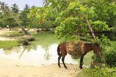 Caballo pequeño en playa rincón, península de samaná — Foto de Stock